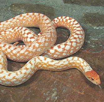 Albino Jungle Corn Snake | www.pixshark.com - Images ...